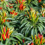 Protected: Hot Peppers: Registered Sites Page